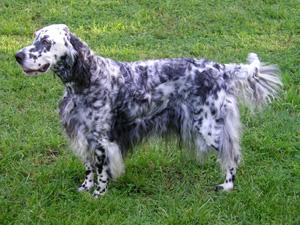 イングリッシュセッター 犬名: イングリッシュセッター イングリッシュセッターの写真 英語表記.